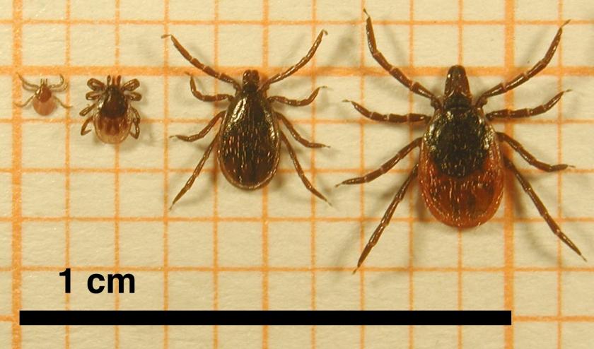 Schapenteek in vier stadia, vlnr: larf (heeft zes pootjes), nimf, volwassen mannetje, volwassen vrouwtje.