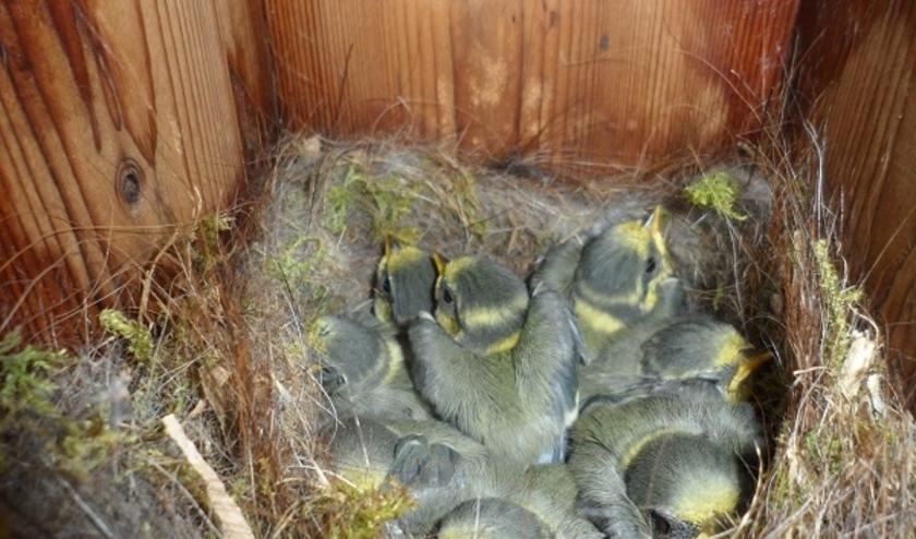 De nestkasten van Nestkasten Werkgroep Liemers hangen inmiddels in heel de regio. Hier is een nestje pimpelmezen te zien. (foto: PR)