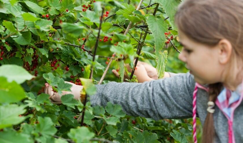 Children harvesting red currant in the garden
