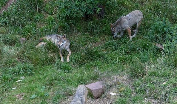 Een van de foto's uit het boek:  wolven in de natuur. (foto: Mark Zekhuis) Foto:  © DPG Media