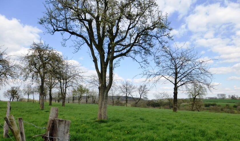 <p>Foto ter illustratie van een hoogstamboom. Foto: Nele Vanmaele</p>