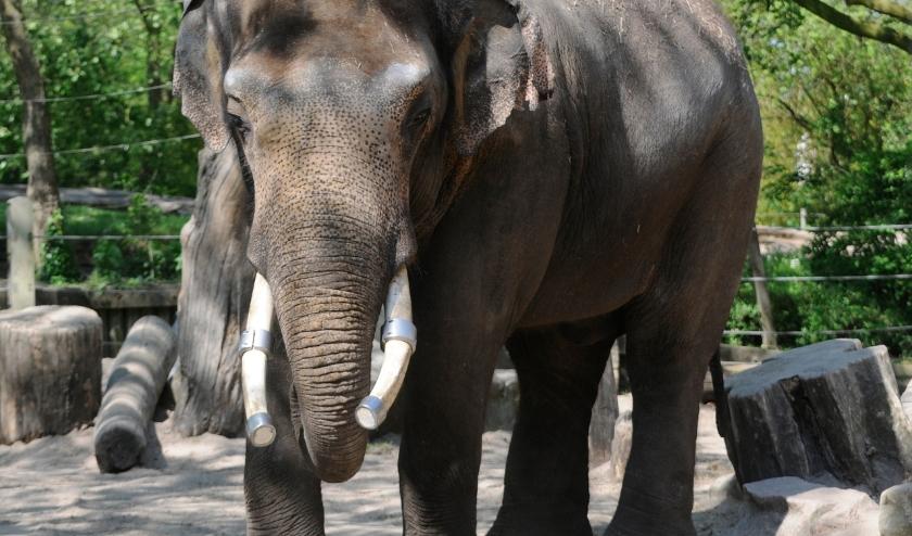 De Aziatische olifant Timber in Diergaarde Blijdorp.