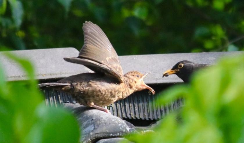 Stichting Dierenambulance Den Haag heeft haar handen vol aan jonge vogels. Foto: Wil Adriaansen