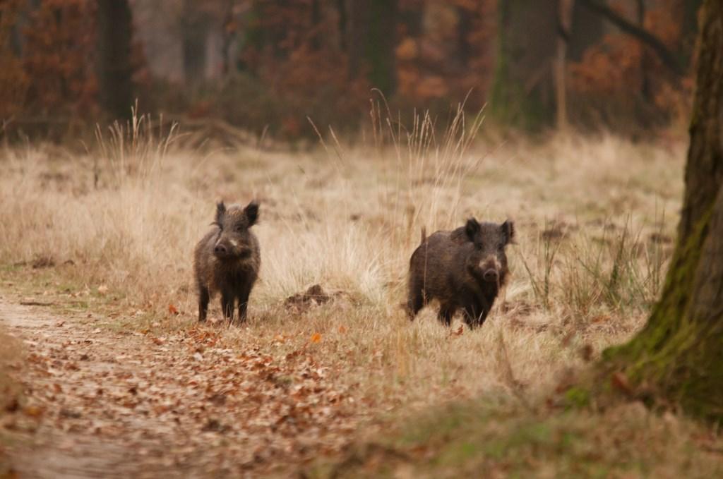 Wilde Zwijnen Foto: Gerrit van Vemde © DPG Media