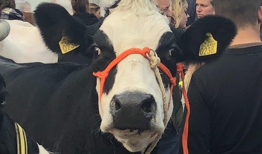 Koe op Koeiemart.