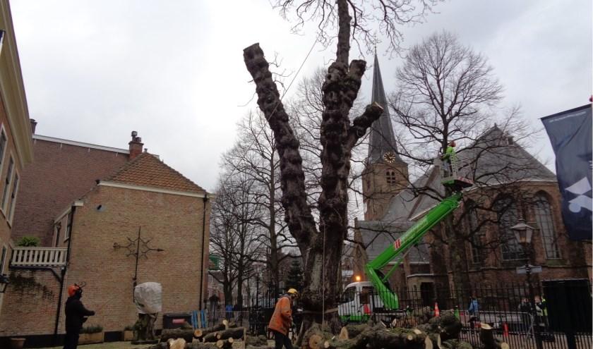 Tijdens de kap werd de bekende kastanjeboom ontdaan van zijn takken.