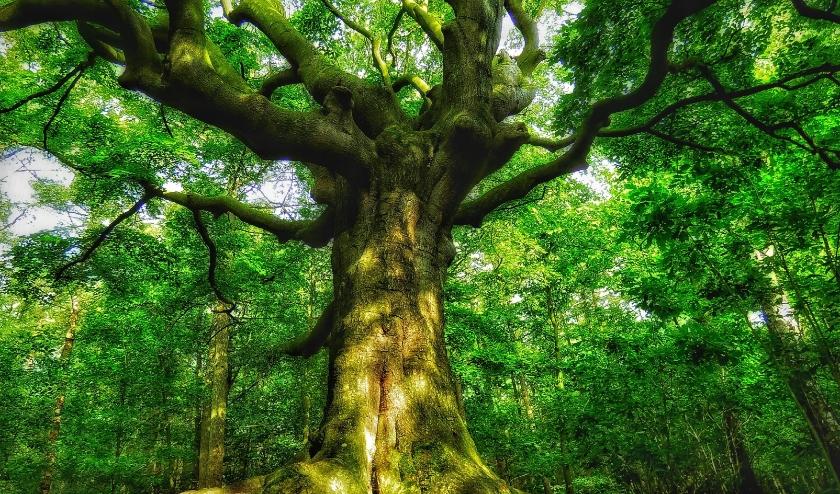 De Heksenboom in Bladel werd in 2019 benoemd tot 'Mooiste boom van het jaar'. Foto: Ton Larmit