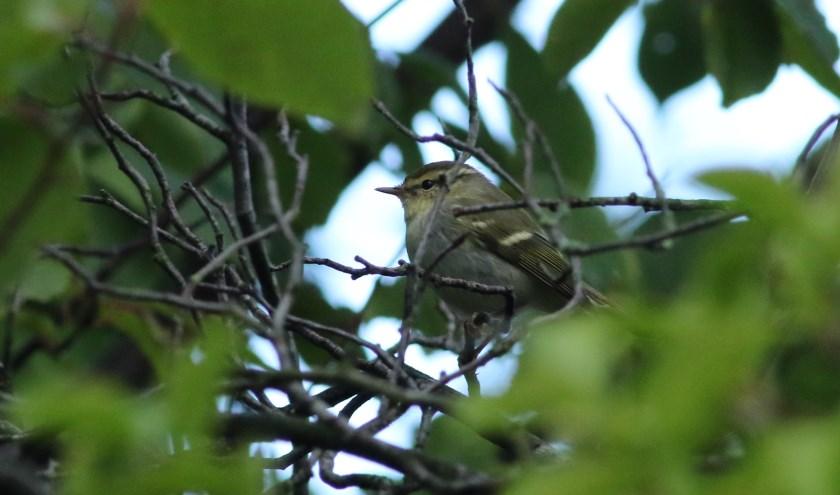 Afgelopen week zat een bladkoning in Ambacht. Een klein vogeltje dat is afgedwaald uit Rusland. Foto: Bram Roobol