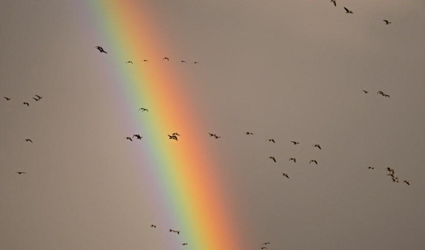 Regenboog met kolganzen.