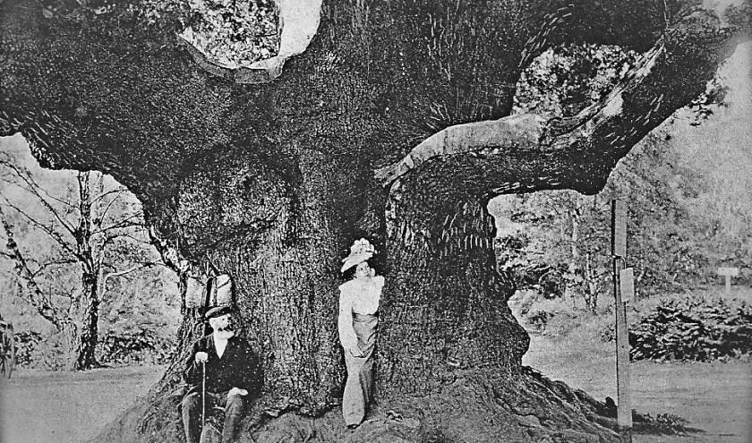 De legendarische 'Major Oak' in Sherwood Forest. Een ansichtkaart die rond 1890-1900 is vervaardigd.