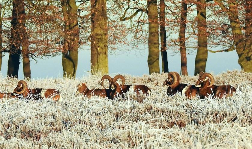 moeflons in winterlandschap