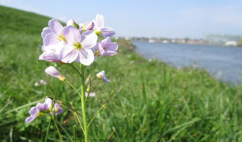 Pinksterbloemen groeien doorgaans tijdens Pasen en zijn op moment op verschillende plaatsen in Ambacht te bewonderen.