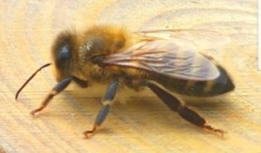 Wist u dat alleen in Nederland al meer dan 350 soorten bijen voorkomen? Foto: Robbert Roos
