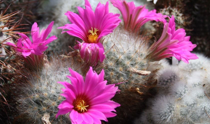 Bloeiende cactus, mammillaria (eigen foto van inzender)