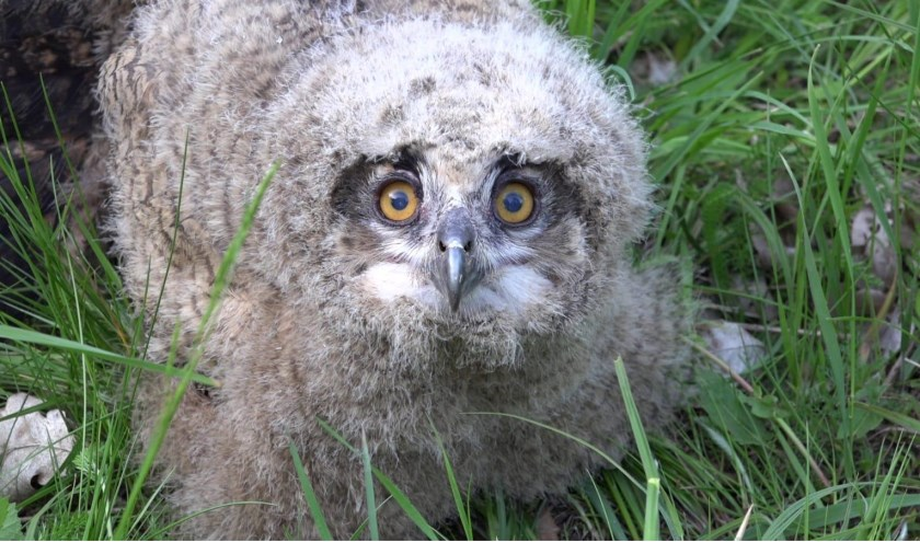 Het is best bijzonder dat hetvasteoehoepaartje alweer een nest met vier jongen heeft grootgebracht.