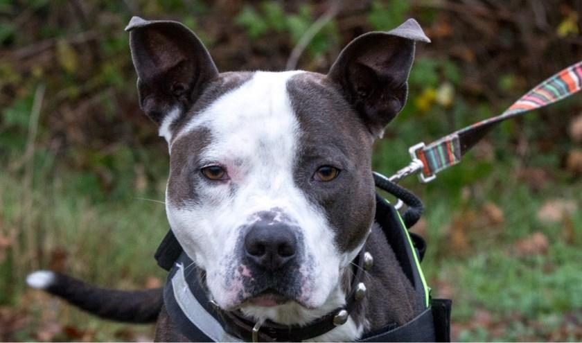 Blue heeft het vroeger niet echt leuk gehad en was erg in zichzelf gekeerd. Nu is hij een blije, enthousiaste hond en toe aan een nieuw baasje. Foto: Dierenbescherming.