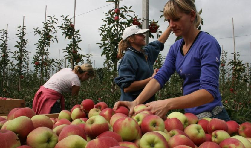 Een nieuwe, puur Nederlandse appel is het land aan het veroveren en wordt hoofdzakelijk geteeld in de Betuwe, de bakermat van de appelteelt.