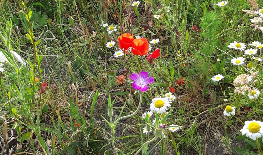 Genieten van de prachtige veldbloemen in Ermelo West
