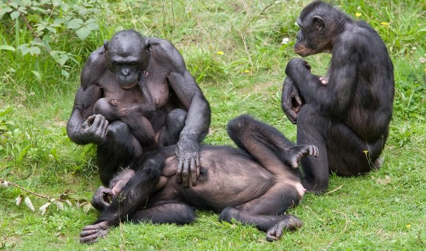 Van alle apen lijken bonobo's het meest op mensen: ons DNA is voor ruim 98 procent hetzelfde. ( Foto Apenheul )