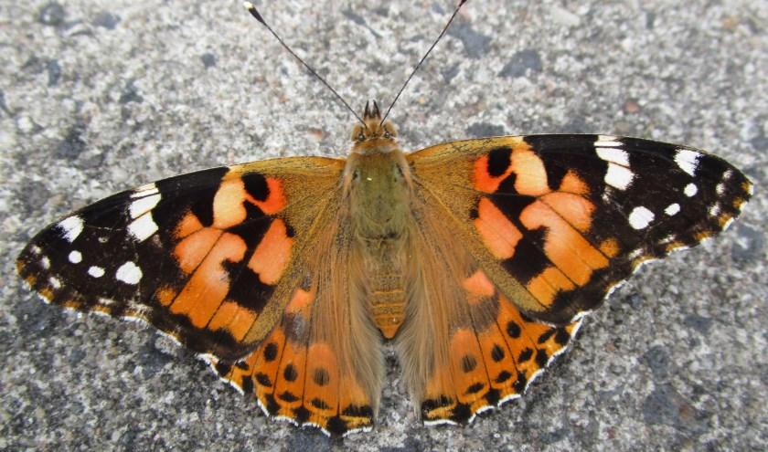 Distelvlinders zijn dit jaar veel voorkomend in Ambacht, omdat ze met een zuidelijke stroming uit Afrika hier zijn aanbeland.