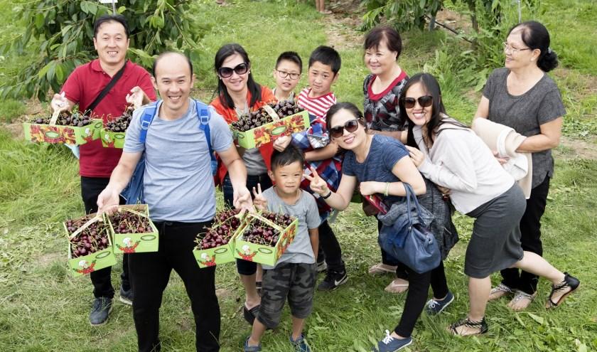 'Kersen plukken in de Betuwe' is een toeristische trekpleister van formaat aan het worden.Vooral bij Chinese toeristen.(Foto: Iris Spaink)