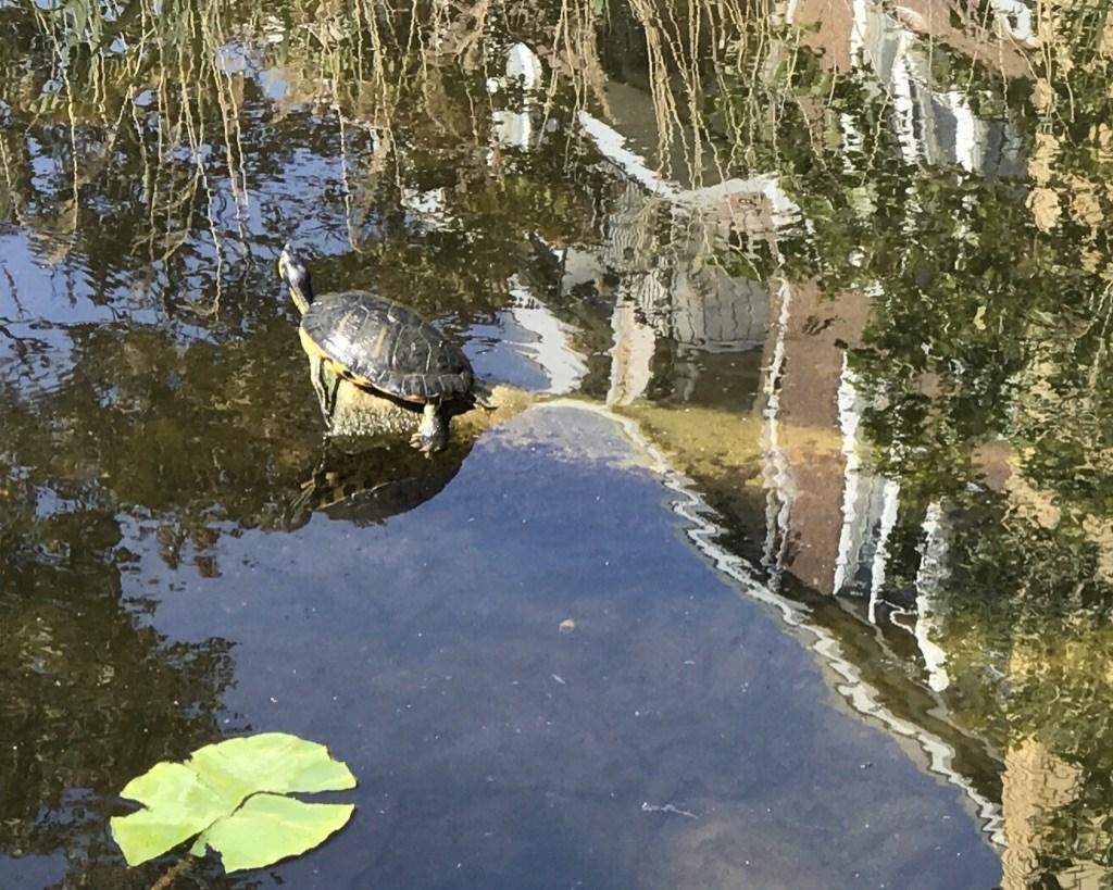 Een exotische moerasschildpad zit te zonnen in het water van de Schie.   © DPG Media