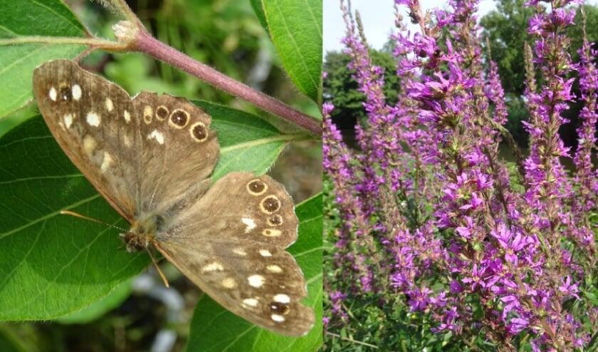 Links het Bont zandoogje en rechts Kattenstaart de plant die nu prachtig in bloei staat en goed is voor hommels en vlinders.