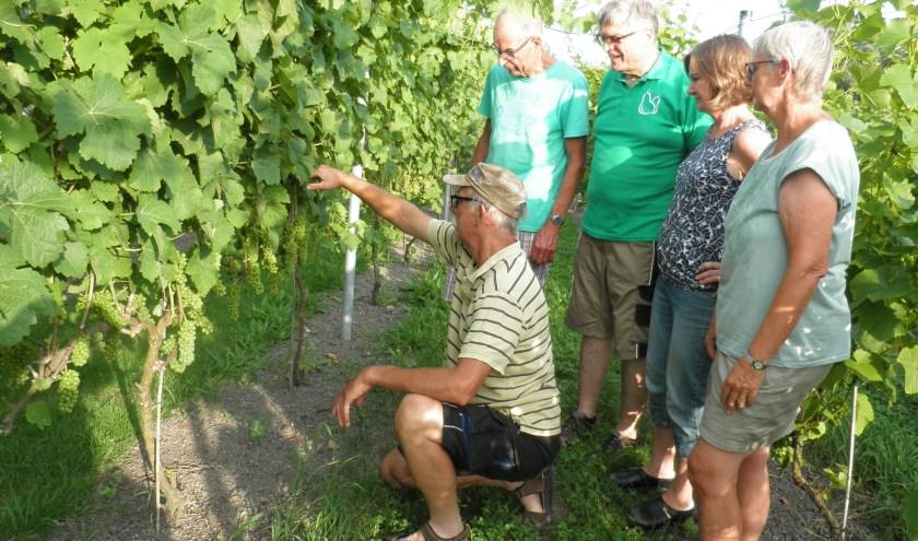 Vrijwilligers krijgen instructie over het snoeien van wijnranken in de Hof van Seghwaert. Foto Kees van Rongen