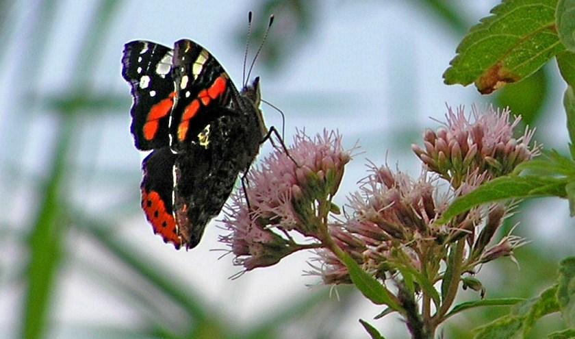 Atalanta vlinder op koninginnekruid