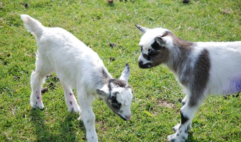 Tijdens de open dag kunnen geitjes, kippen, kuikens, konijnen en cavia's geaaid worden in de knuffelhoek. Vrijwilligers vertellen over hun werk bij de dierenweide.
