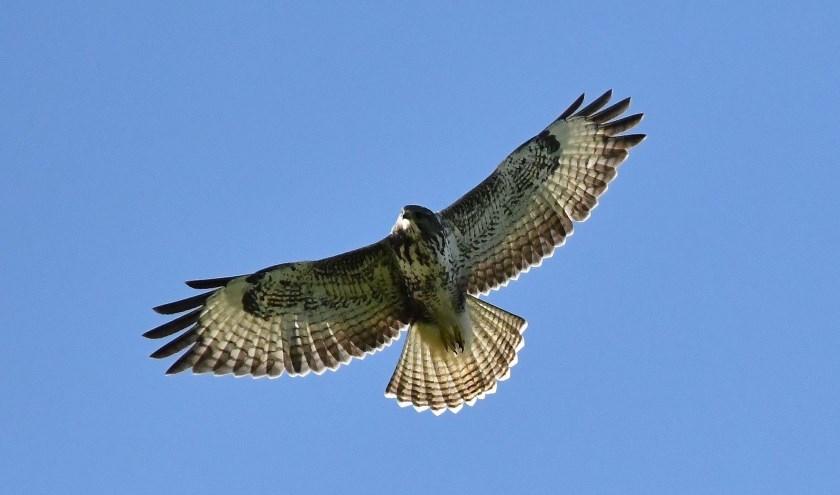 Roofvogels spotten. (Foto: © Natuurmonumenten – Maurits Koenen)