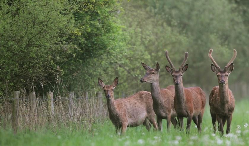 Edelherten in natuurgebied het Groene Woud. (Foto: Harry Fiolet).