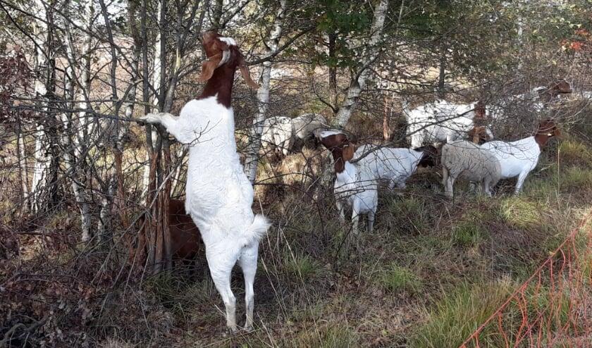 <p>Hongerige dieren bij het Wierdense Veld. Foto: K. Timmerman.</p>