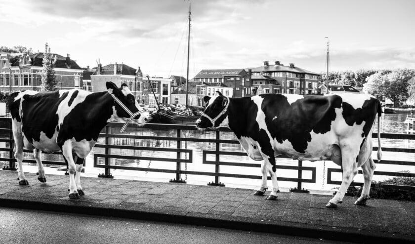 <p>Koeien lopen de straten van Woerden. Foto: Robert Roozenbeek</p>