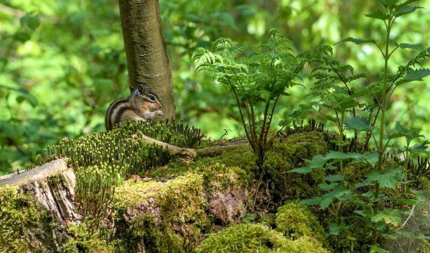 <p>Een Siberische grondeekhoorn in de Warande. Zijn voorouders woonden in het Tilburgs dierenpark aan de Bredaseweg en wisten bij de verhuizing te ontsnappen.</p>