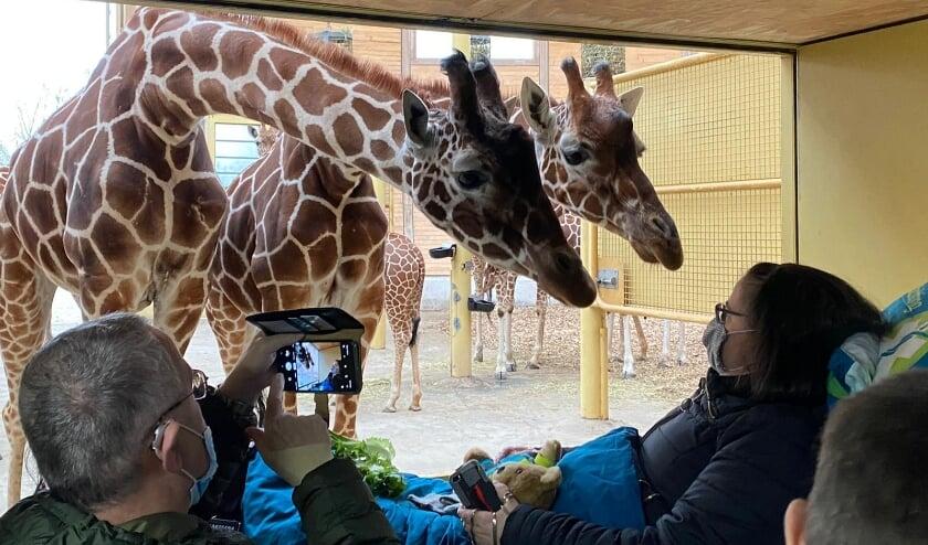 <p>Prachtig hoe de giraffen altijd feilloos lijken aan te voelen wat er aan de hand is...</p>