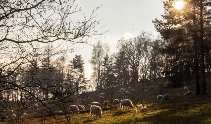 <p>De grazende schapen die de heide onderhouden, trekken veel bekijks van wandelaars.&nbsp;</p>