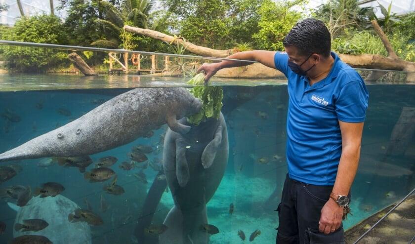 <p>Dierenverzorger Eric voert de zeekoeien, moeder en zoon.&nbsp;</p>