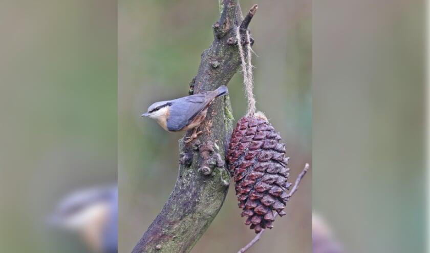<p>De boomklever is goed te herkennen aan zijn blauwgrijs gekleurde rug en de oranjebruine borst. FOTO: Ren&eacute; van Rossum</p>