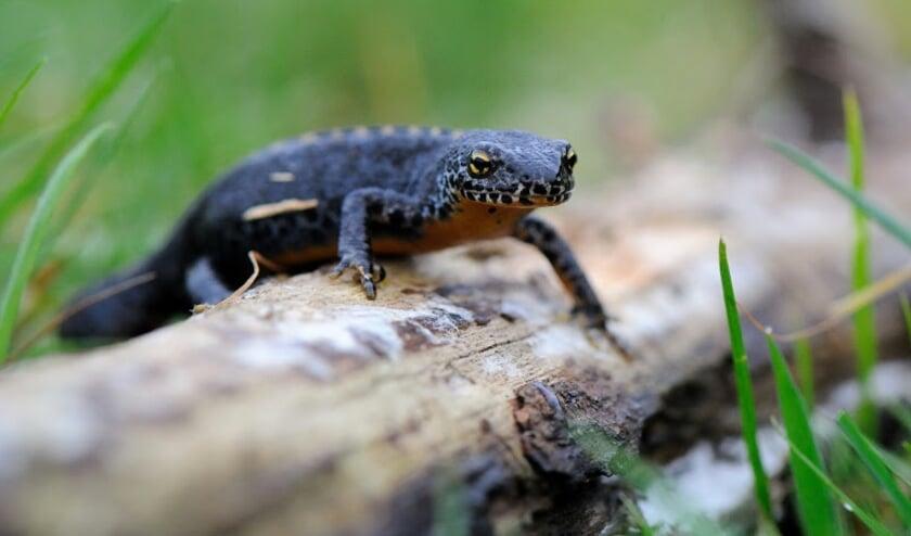 <p>Een salamander op pad. Voor het voortbestaan van salamanders zijn de poelen onmisbaar. FOTO: Marcel van de Kerkhof. </p>