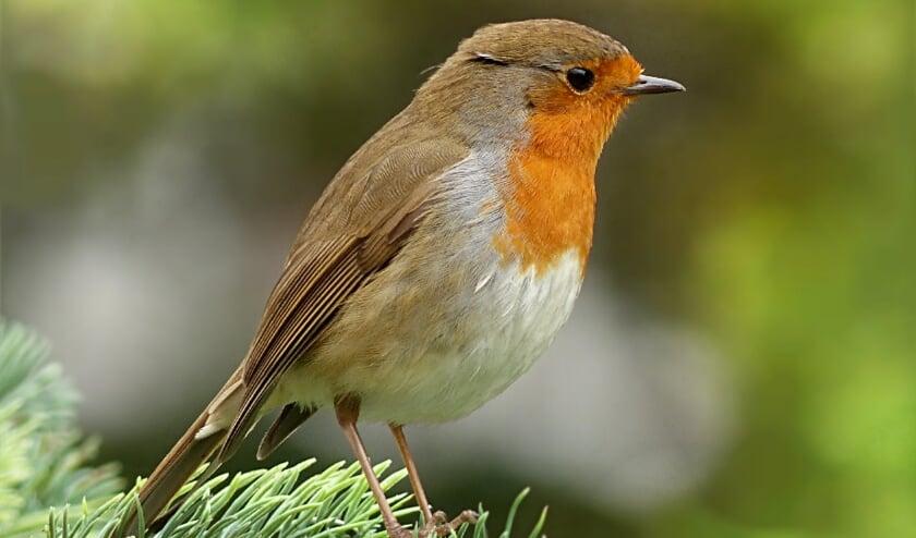 <p>Doordat er minder verkeerslawaai is in de vroege ochtend, zijn roodborstjes ook later op de dag gaan zingen.</p>