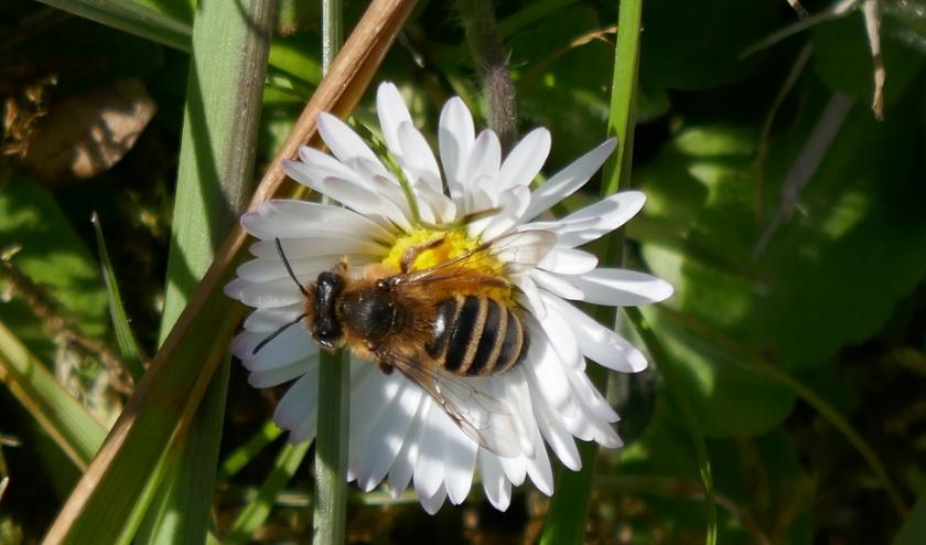 Uw tuin bijvriendelijker maken? Doe mee aan de actie van Bee Friendly. U kunt een gratis zakje zaad met wilde bloemen aanvragen. Kijk eens op www.kro-ncrv.nl/beefriendly. Foto: Grasbij op madeliefje. Fotograaf: Tilly Kester.