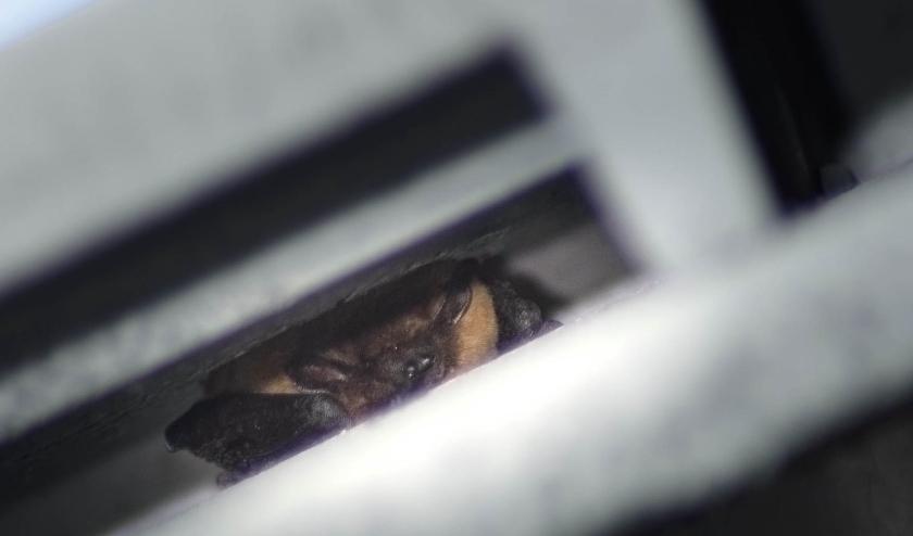 Gewone dwergvleermuis in kraamkast. Zie je de oortjes? Voor meer informatie bezoek ons op vleermuisplatformzoetermeer.nl Foto: Dennis Heintz