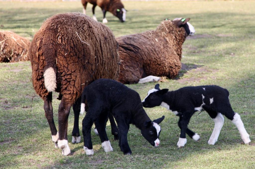 Lammetjes op Kinderboerderij Noord Foto: Frans Feil © DPG Media