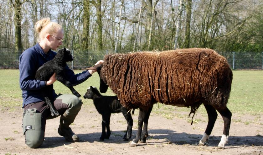 Beheerder Quislaine met lammetjes Kinderboerderij Noord