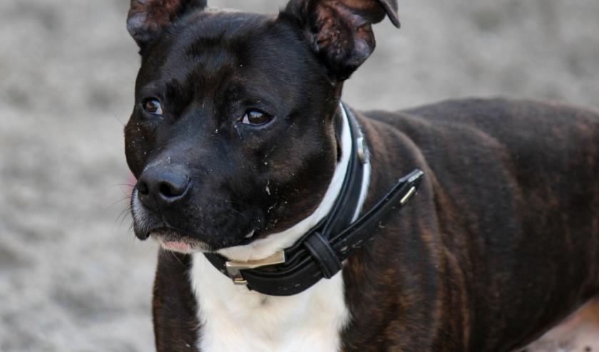 Engelse Stafford Steef is een hele fijne, relaxte hond die zich niet snel ergens druk over maakt. .