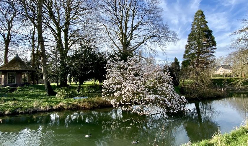 Rick Snel, beheerder van de Foto en videogroep Culemborg op Facebook, kiekte deze prachtige magnolia met verhaal. (foto: Rick Snel)