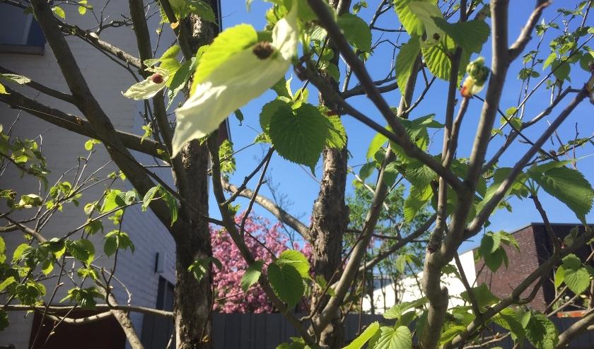 Bloem van een zakdoekjesboom. Deze boom is gepland door Boom de Kwekerij. Foto: Berdien van de Ven