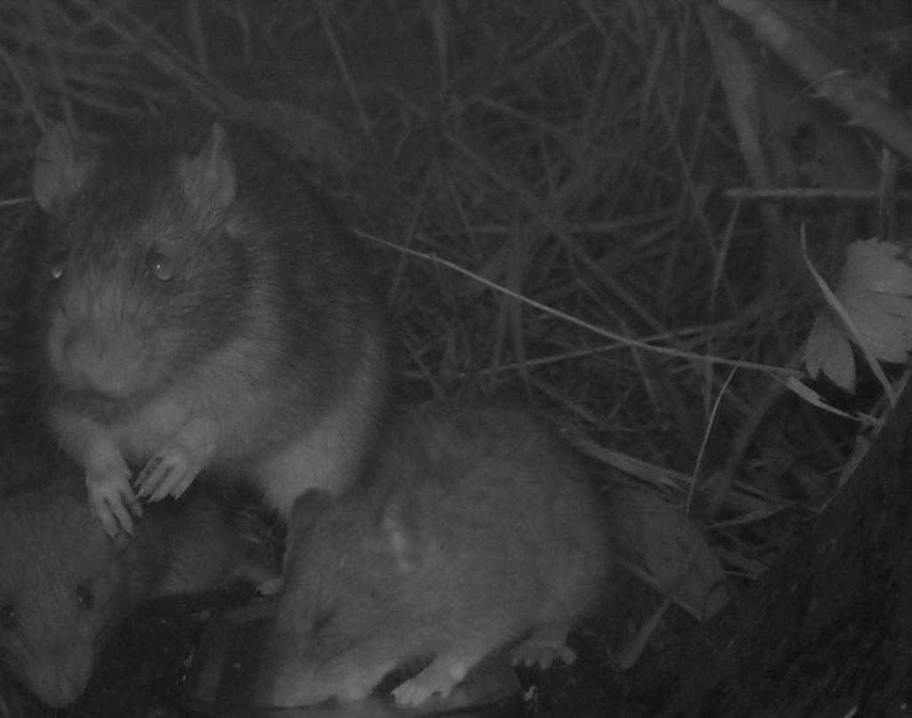 Het rattengezin brengt in de nacht een bezoek aan het blikje vis, dat pal voor de wildcamera ligt. Foto: Wildcamera Natuurwacht Bommelerwaard © DPG Media
