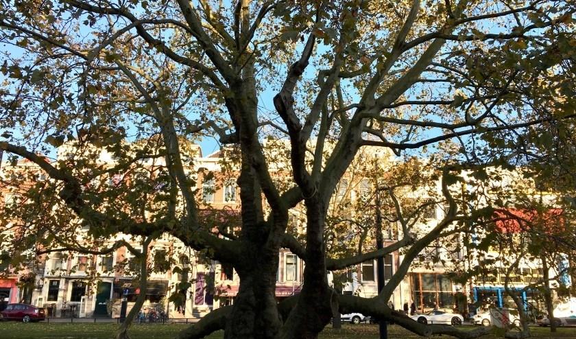 De Breyten Breytenbachboom in Rotterdam.